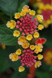 Largeleaf-Lantana stockbild