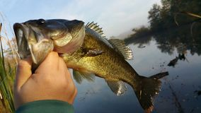 largemouth bas Royaltyfri Foto