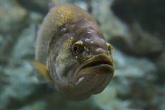 Largemouth bas onderwater Stock Afbeeldingen