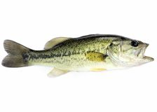 Largemouth Bass. A young fresh water largemouth bass royalty free stock image