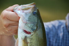 Largemouth bass Stock Image