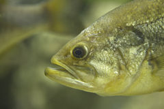 The largemouth bass Stock Image