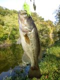 Largemouth Bass. Photo of medium sized largemouth bass caught on a spinnerbait in late september from the c&o canal in maryland. The largemouth bass is the most stock image