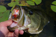 Large Mouth Bass Fishing Lure. An angler lands a largemouth bass in a bed of lily pads that hit a topwater frog lure Stock Photo
