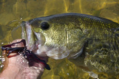 Largemouth Bass Royalty Free Stock Photos