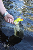 Largemouth bass. Caught and picked from a lake stock photos