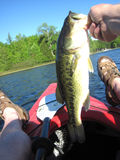 Largemouth Bass. Caught on a jig stock image