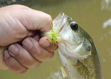 Largemouth bass caught on wet fly. Cloesup of small largemouth bass caught on a wet fly stock photography
