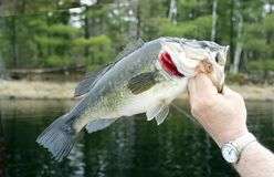 Largemouth Bass Closeup. With a lake and trees in the background stock photo