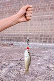 Largemouth Bass fish. Beautiful leaping Largemouth Bass Micropterus salmoides on a fisherman's line stock images