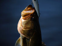 Largemouth bass fish on hook Royalty Free Stock Photo