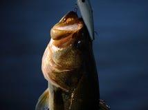 Largemouth bass fish on hook Royalty Free Stock Photo