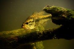 Largemouth bass fish in lake. Swimming stock photo