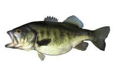 Largemouth bass fish with on white backgorund. Largemouth bass is fierce predator that feeds on fish and crustaceans royalty free stock photography