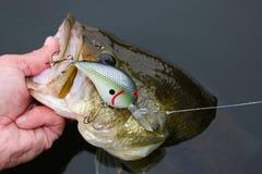 Largemouth Bass Fishing Crankbait Lure royaltyfria foton