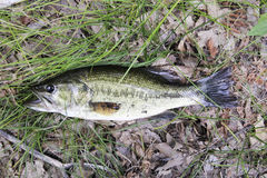 Largemouth bass on grass and leaves Royalty Free Stock Photos