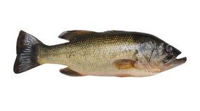 Largemouth Bass Isolated on White Royalty Free Stock Photography