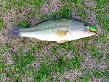 Largemouth Bass. Large Mouth Bass laying in the grass with a fishing lure in its mouth Stock Images