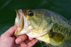 Large Mouth Bass Lipped After Being Caught Fishing. Angler lips a large mouth bass after catching it fishing in a lake Stock Photo