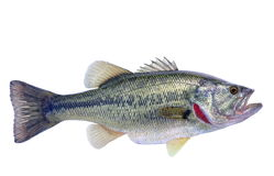 Largemouth Bass (Micropterus salmoides). A big, beautiful female Largemouth Bass isolated on a white background stock photography