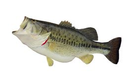 Largemouth bass (Micropterus salmoides). A big largemouth bass isolated on a white background royalty free stock photo