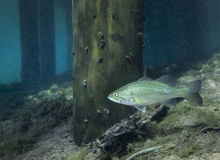 Largemouth Bass - Morrison Spring Dock Royalty Free Stock Image