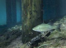Largemouth Bass - Morrison Spring Dock. A Florida Largemouth Bass swims among the Morrison Springs state park dock pilings royalty free stock image