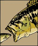 Largemouth bass swallows a little fish - vector Royalty Free Stock Images