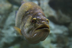 Largemouth bass underwater. Looking towards the camera Stock Images