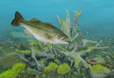 Largemouth Bass Underwater. A big, female Largemouth bass and crayfish underwater with mossy rocks and a submerged tree root system in the scene stock image