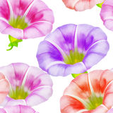 Larger bindweed. Seamless pattern texture of flowers. Floral bac Royalty Free Stock Photo