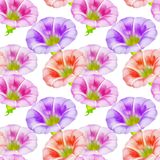 Larger bindweed. Seamless pattern texture of flowers. Floral bac Royalty Free Stock Image