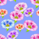 Larger bindweed. Seamless pattern texture of flowers. Floral bac Stock Images