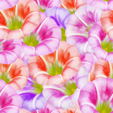 Larger bindweed. Seamless pattern texture of flowers. Floral   Royalty Free Stock Photo