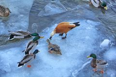 A larger drake grabbed the food thrown by man. The rest of the ducks and drakes are afraid to join the fight for food. stock photography