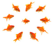 Larger goldfish group around smaller goldfish Royalty Free Stock Photography
