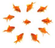 Larger goldfish group around smaller goldfish Royalty Free Stock Photography