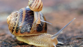 Larger snail carries smaller snail on back. Royalty Free Stock Photo