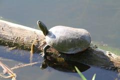 A larger turtle sitting on a log. Enjoying the sun stock photos