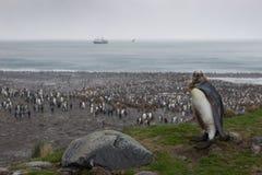 Largerst企鹅国王殖民地,南乔治亚 免版税库存图片