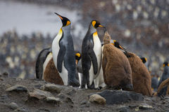 Largerst king penguin colony, South georgia Stock Photography