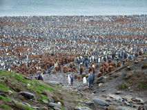 Largerst king penguin colony, South georgia Royalty Free Stock Photography