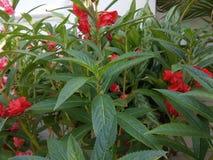 Larges feuilles hidding de belles fleurs rouges images libres de droits