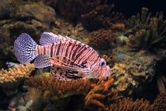 Larges firefish barrés Photo libre de droits