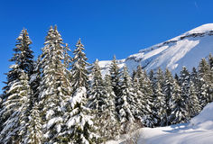 Larges firs on the snow. Large firs in the mountain in winter Stock Images