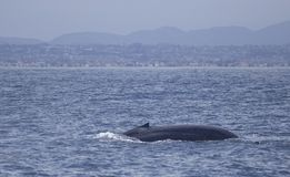 Blue Whale off California. The largest animal on Earth, the magnificent Blue Whale. Here, an adult surfaces off of San Diego, California, showing its beautiful stock images