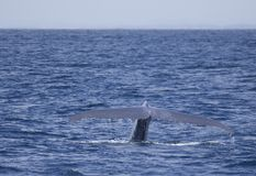 Blue Whale flukes off California. The largest animal on Earth, the magnificent Blue Whale. Here, an adult surfaces off of San Diego, California, showing its royalty free stock photos