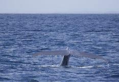Blue Whale flukes off California royalty free stock photos