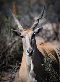 African Eland with his spiral horns. Largest of the antelope family, the Eland has spiral horns and is found in Africa Royalty Free Stock Images
