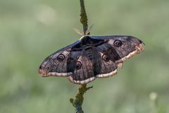 The largest butterfly Saturnia pyri. The largest butterfly in Europe in terms of wingspan Saturnia pyri stock photo